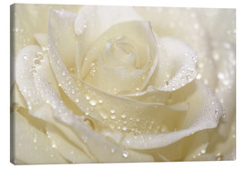 Canvas  White rose with drops - Atteloi