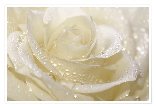 Poster White rose with drops