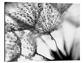 Aluminium print  Dandelion Dew in Black and White - Julia Delgado