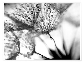 Premium poster  Dandelion Dew in Black and White - Julia Delgado