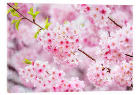 Acrylic print  Japanese cherry blossom in spring - Jan Christopher Becke