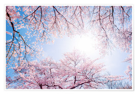 Premium poster pink cherry blossom in spring with backlight and blue sky