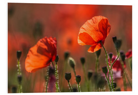 Foam board print  Poppies in Provence - Christian Müringer