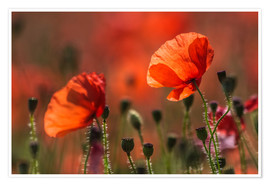 Poster Poppies in Provence