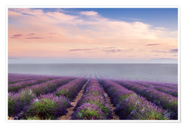 Poster  Landscape: lavender field in summer at sunrise, Provence, France - Matteo Colombo