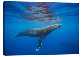 Canvas print  Humpback whale under water - Dave Fleetham