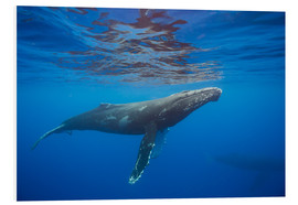 Forex  Humpback whale under water - Dave Fleetham