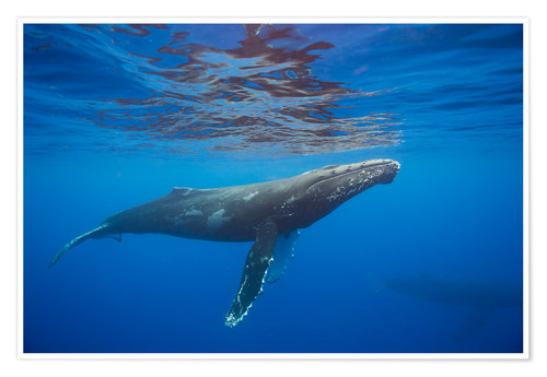 Premium poster Humpback whale under water