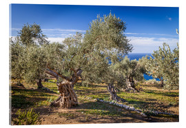 Acrylic print  Ancient olive trees in Mallorca (Spain) - Christian Müringer