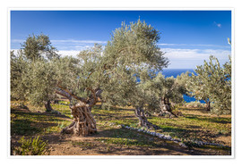 Premium poster  Ancient olive trees in Mallorca (Spain) - Christian Müringer