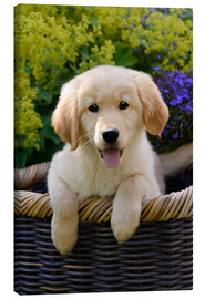 Canvas print  Cute Golden Retriever Puppy - Katho Menden