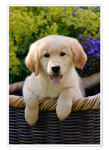 Katho Menden Cute Golden Retriever Puppy Poster Posterlounge