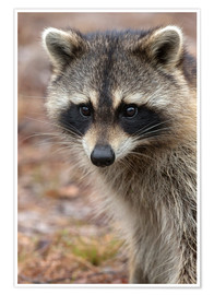 Premium poster  Portrait of a raccoon - Maresa Pryor