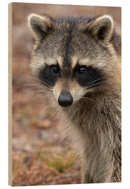Wood print  Portrait of a raccoon - Maresa Pryor