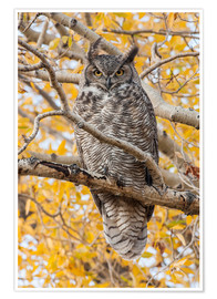 Poster Great Horned Owl roosting in Cottonwood
