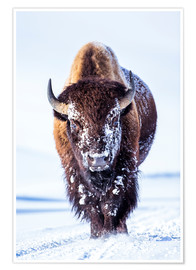 Poster Bull Bison walking in Hayden Valley