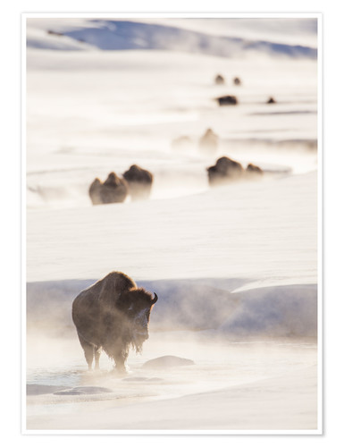 Poster Bison herd in the snow