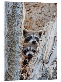 Acrylic glass  Young raccoons in hiding - Elizabeth Boehm