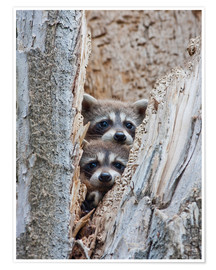 Premium poster Young raccoons in hiding
