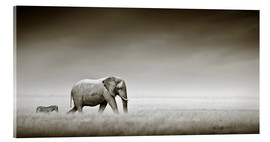 Acrylic glass  Elephant walking past zebra size comparison - Johan Swanepoel