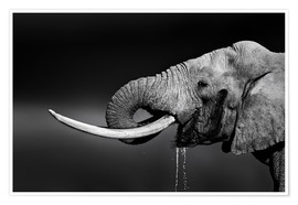 Poster Elephant bull with huge tusks drinking water