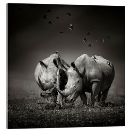 Acrylic print  Two Rhinoceros with Birds - Johan Swanepoel