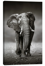 Canvas print  Elephant bull approaching - Johan Swanepoel