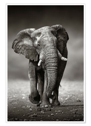 Poster Elephant bull approaching from the front