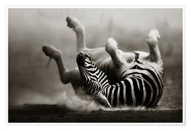Premium poster Zebra rolling upside down on dusty desert sand