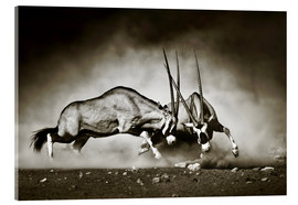 Acrylic print  Gemsbok antelope fighting in dusty sandy desert - Johan Swanepoel