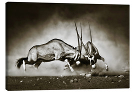 Canvas print  Gemsbok antelope fighting in dusty sandy desert - Johan Swanepoel