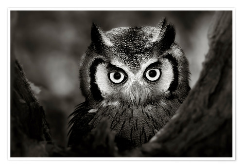 Johan Swanepoel White Faced Owl Perched In A Tree Poster Posterlounge