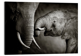 Acrylic print  Baby elephant interacting with Mother - Johan Swanepoel