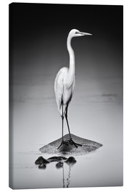 Canvas print  Great white Egret perched on Hippo - Johan Swanepoel