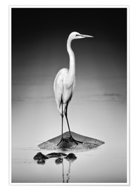 Premium poster Great white Egret perched on Hippo