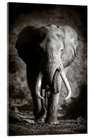 Acrylic print  Elephant with huge tusks approaching - Johan Swanepoel