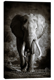 Canvas print  Elephant with huge tusks approaching - Johan Swanepoel