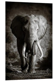 Foam board print  Elephant with huge tusks approaching - Johan Swanepoel