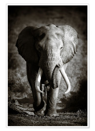 Poster  Elephant with huge tusks approaching - Johan Swanepoel