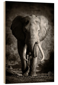 Wood print  Elephant with huge tusks approaching - Johan Swanepoel
