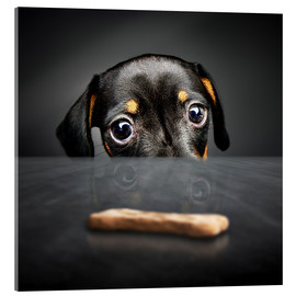 Acrylic print  Dachshund puppy looking at out of reach treat - Johan Swanepoel