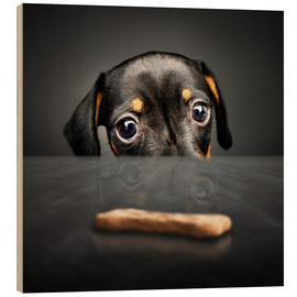 Wood print  Dachshund puppy looking at out of reach treat - Johan Swanepoel