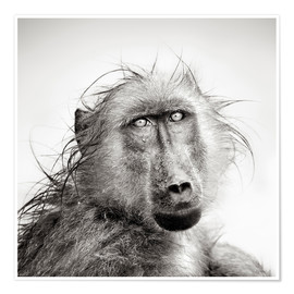 Premium poster Wet Baboon portrait in the rain