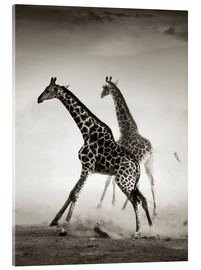 Acrylic print  Giraffes running in the dust - Johan Swanepoel
