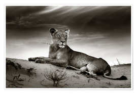 Premium poster Lioness resting on top of a sand dune