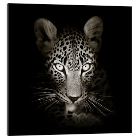 Acrylic glass  Leopard portrait licking it's paw - Johan Swanepoel