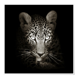 Premium poster Leopard portrait licking it's paw