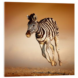 Acrylic glass  Zebra calf running in dusty Etosha desert - Johan Swanepoel