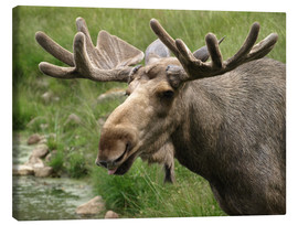 Canvas print  Moose