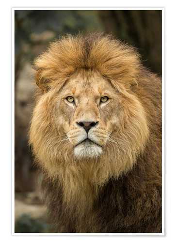 posters affiches de lion portrait posterlounge. Black Bedroom Furniture Sets. Home Design Ideas
